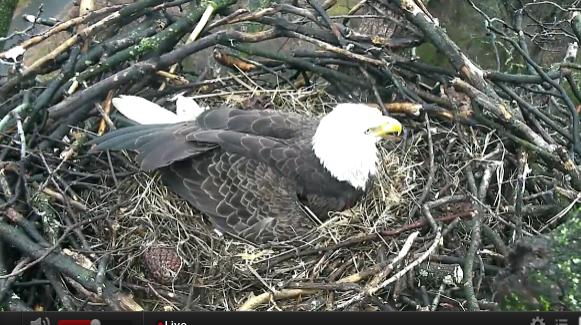 DC Bald Eagle Cam